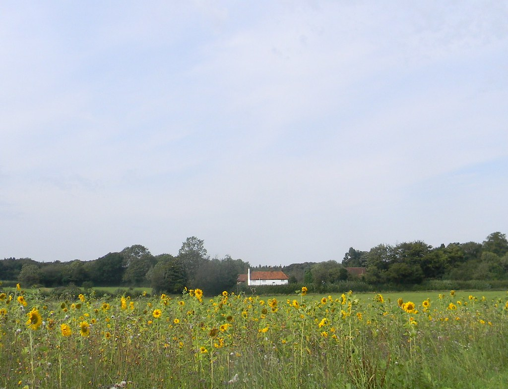 Sunflowers with cottage Chesham to Great Missenden