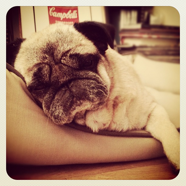 Napping... #bebop #pug #puglife