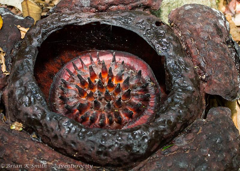 Closeup of decayed Rafflesia Tuan-Mudae.