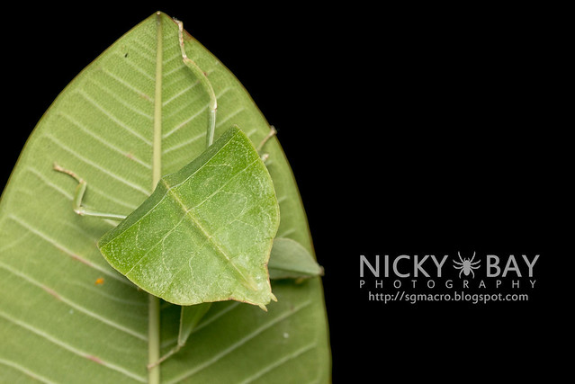 Gray's Leaf Insect (Phyllium bioculatum) - DSC_4954