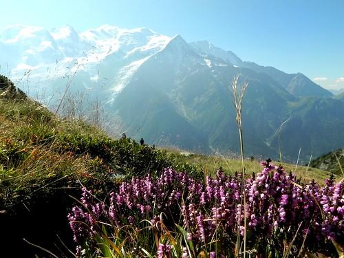 Calluna vulgaris=La fausse-bruyère