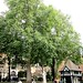 The big trees, Soho Square
