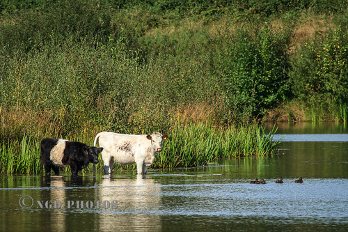 Moor Green Cattle