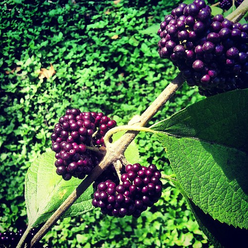 Beauty berry - goblin fruit.