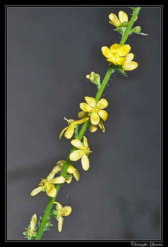 Agrimonia sp.