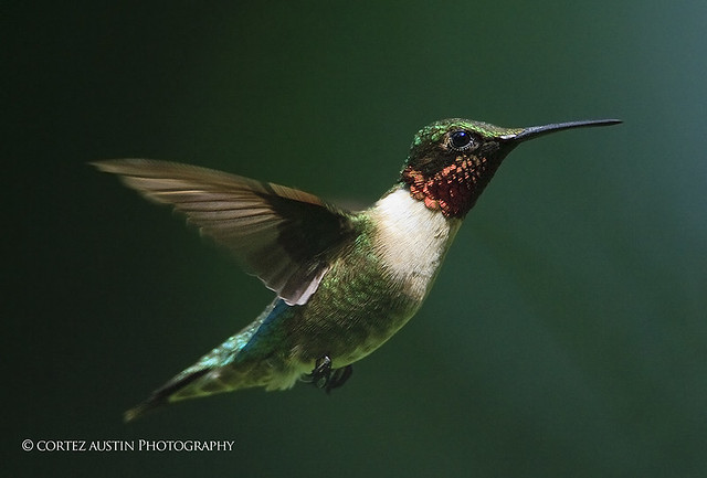 Ruby-throated_Hummingbird_PH5M2353