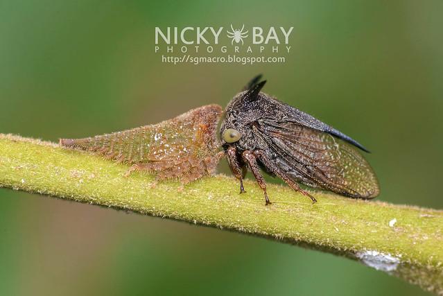 Treehoppers (Membracidae) - DSC_0178