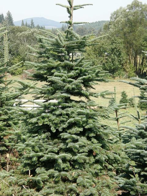 Christmas Trees Oregon