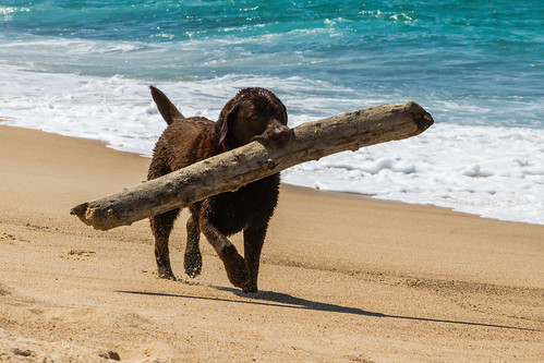 Labrador carrying a large stick on the beach