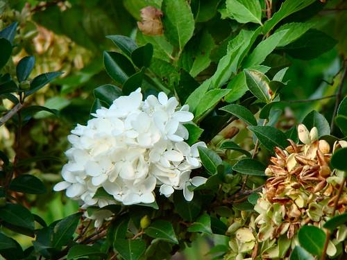 Peegee Grandiflora