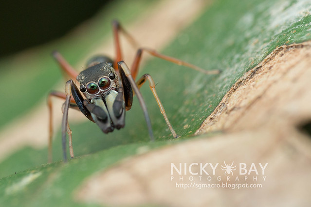 Ant-Mimic Jumping Spider (Salticidae) - DSC_6056