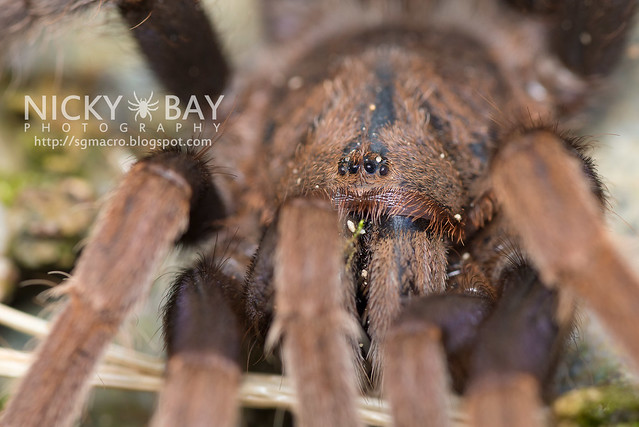 Malaysian Purple Femur Tarantula (Coremiocnemis sp.) - DSC_5960