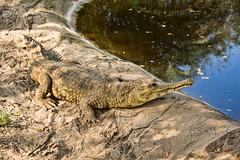 animal(1.0), crocodile(1.0), reptile(1.0), nile crocodile(1.0), fauna(1.0), american alligator(1.0), alligator(1.0), gharial(1.0), crocodilia(1.0), wildlife(1.0),