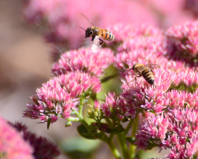 Wingra Park Madison If This Is What >> Honey bees and sedum 09-26-2012 164 | Flickr - Photo Sharing!