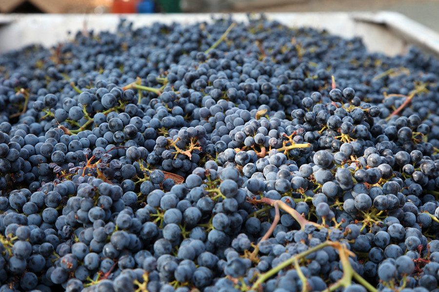 2012 Vyborny Cabernet Harvest 0009