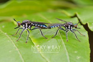Robberflies (Asilidae) - DSC_9495