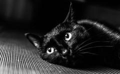 [フリー画像素材] 動物 1, 猫・ネコ, モノクロ ID:201210041000