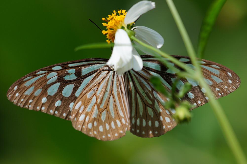 琉球青斑蝶-1