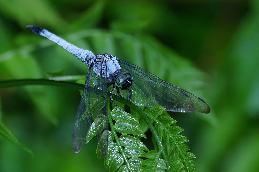灰黑蜻蜓-1