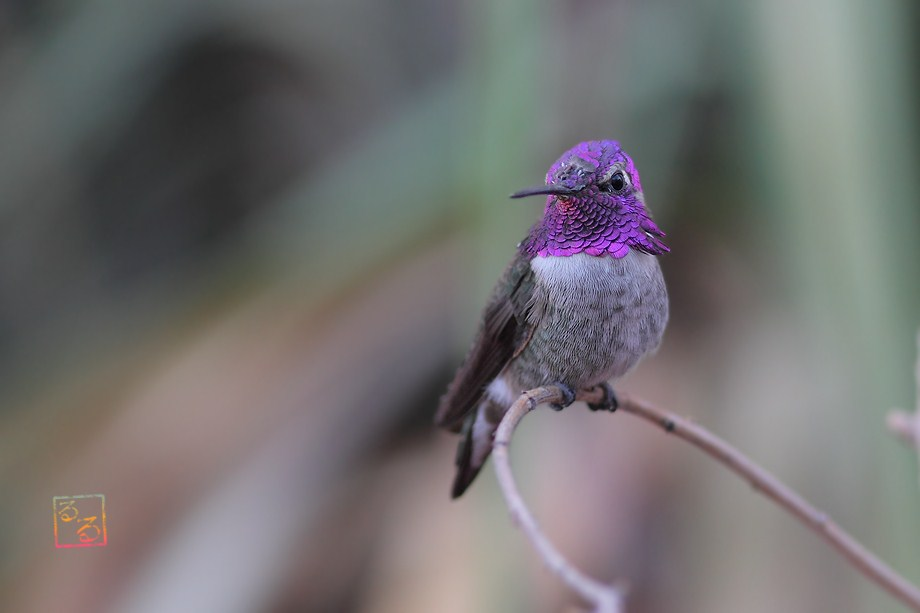 Costa's X Anna's Hummingbird 100312-2
