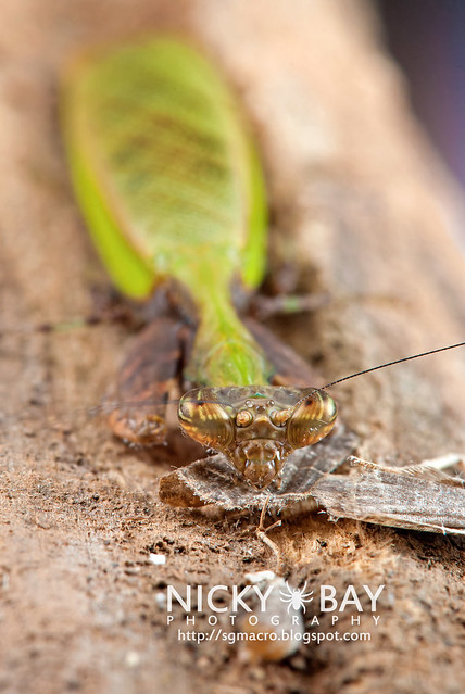 Praying Mantis (Acromantis sp.) - DSC_5633