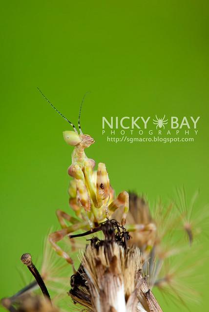 Flower Mantis (Creobotra sp.?) - DSC_5227