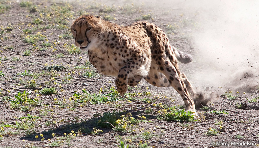 An African cheetah mid-sprint