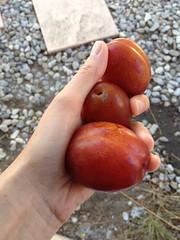 Opal plums