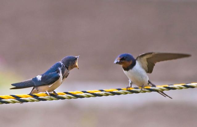 Squabbling Barn Swallows