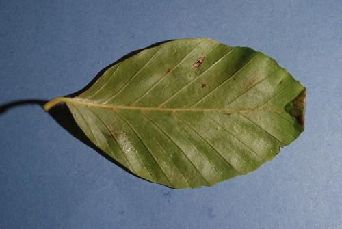 Parornix fagivora -  leaf fold (3)