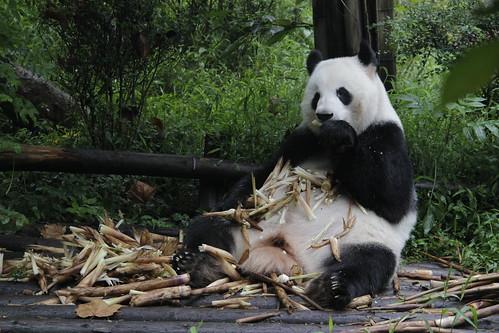 Panda · Chengdú · China
