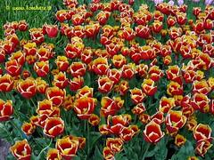 Dutch Tulips, Keukenhof Gardens, Holland - 3964