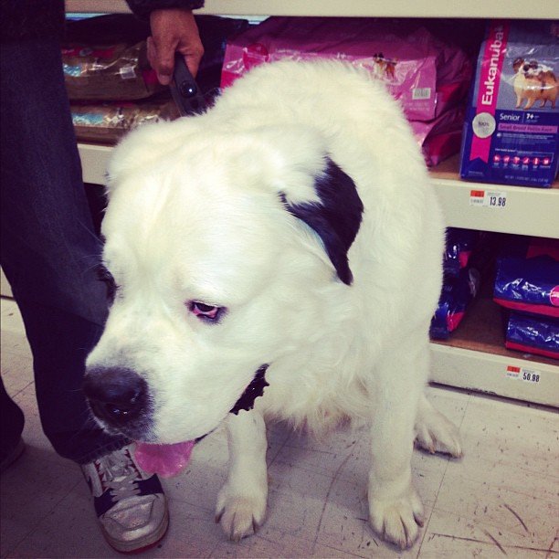 Giant white #stbernard #dog