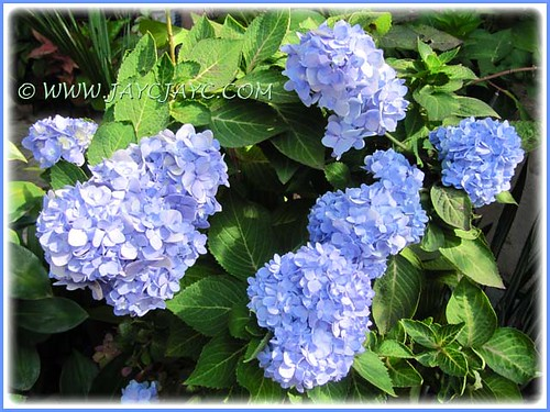 Hydrangea macrophylla 'Endless Summer' (Mophead Hydrangea, Bigleaf Hydrangea, French Hydrangea, Hortensia) with remarkable display in our garden, Sept 2012