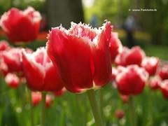 Dutch Tulips, Keukenhof Gardens, Holland - 0670