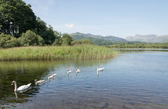 Elterwater swans