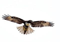 Red tail hawk hovering in a strong up draft near Swanton Road, Davenport.  #redtailedhawk #hawk #bird #nikon200500 #tc14 #d810 #nikon #instagram