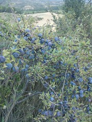 evergreen, shrub, tree, plant, subshrub, flora, fruit, prunus spinosa,