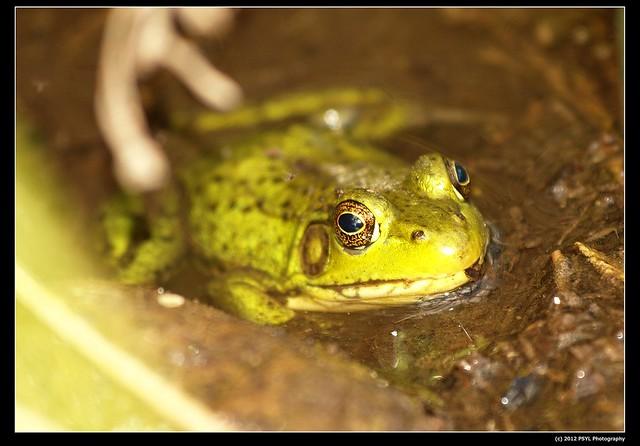 Bullfrog (Lithobates catesbeiana)