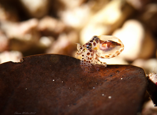 Baby octopus on a leaf - Okinawa, Japan