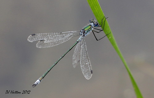 Emerald Damselfly,lestes sponsa  . Explored 8.9.12
