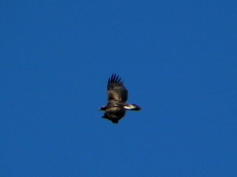 L'aigle royal plane au-dessus de nous (1)
