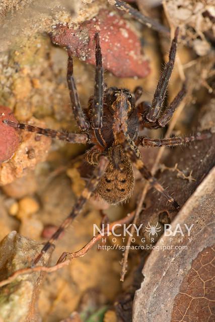 Wandering Spider (Ctenidae) - DSC_5219