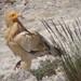 Egyptian Vulture (Byron Palacios)