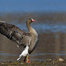 Lesser White-fronted Goose (Stefan Oscarsson)
