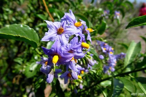 Natre (Solanum crispum) | Bosque El Panul - El Panul Forest
