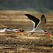 Indian skimmer (David Raju)