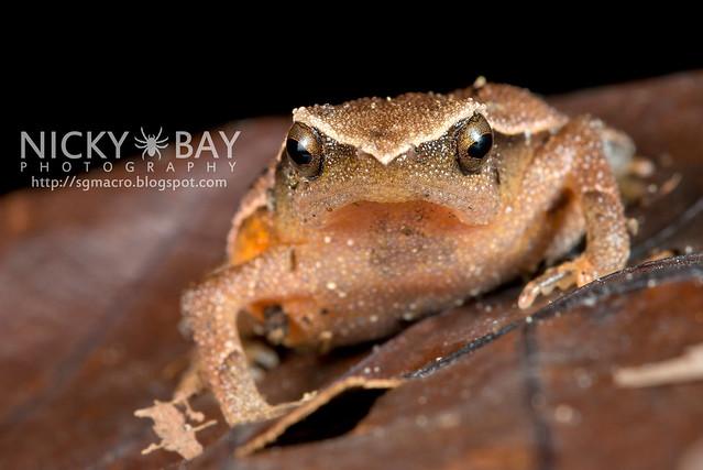 Black-spotted Sticky Frog (Kalophrynus pleurostigma) - DSC_1452