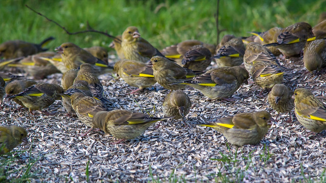 European Greenfinches (Carduelis chloris) at my feeding place-6755