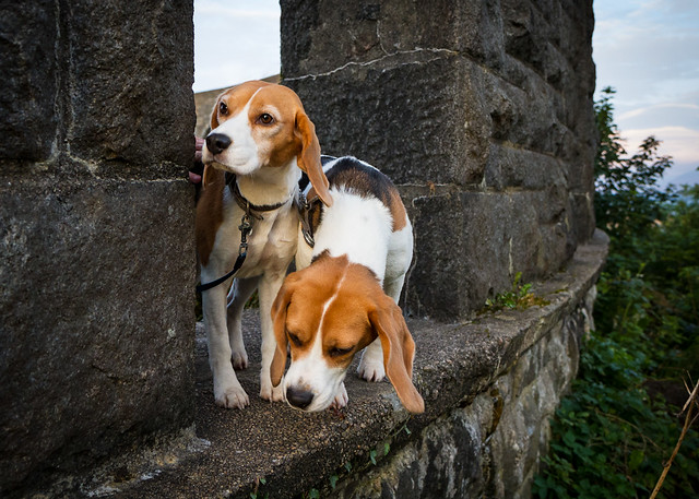 Beaglets Exploring McCaig's Tower, Oban [IMG_0857]